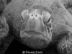 Green Sea Turtle. I converted this photograph to black &amp; ... by Stuart Ganz 